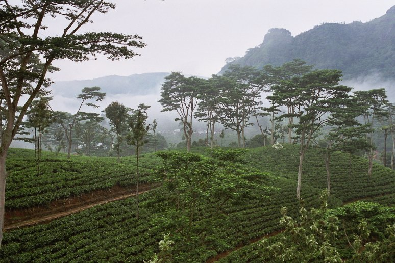 Sri Lanka, tea plantation no copyright photographer by Anjadora