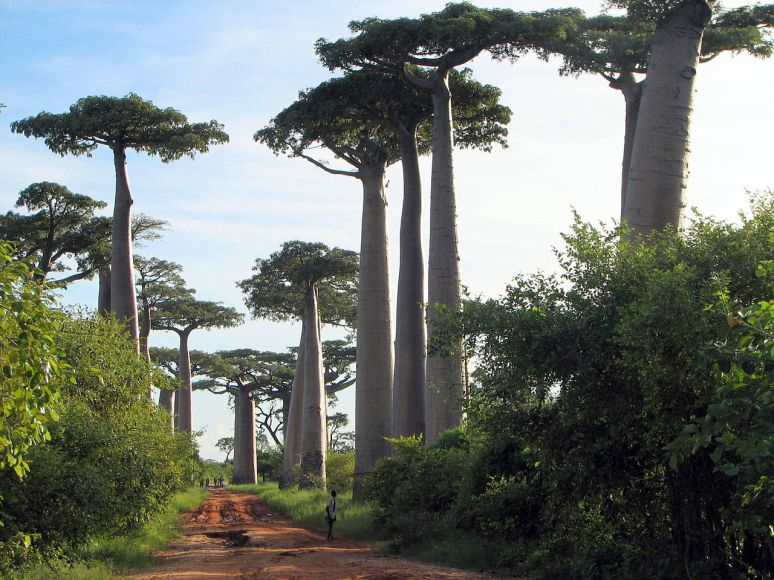 Avenue of the Baobabs Madagascar no copyright photographer Bernard Gagnon